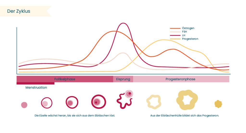 Zyklus mit Menstruation, Eisprung und Progesteronphase für Natürliche Familienplanung